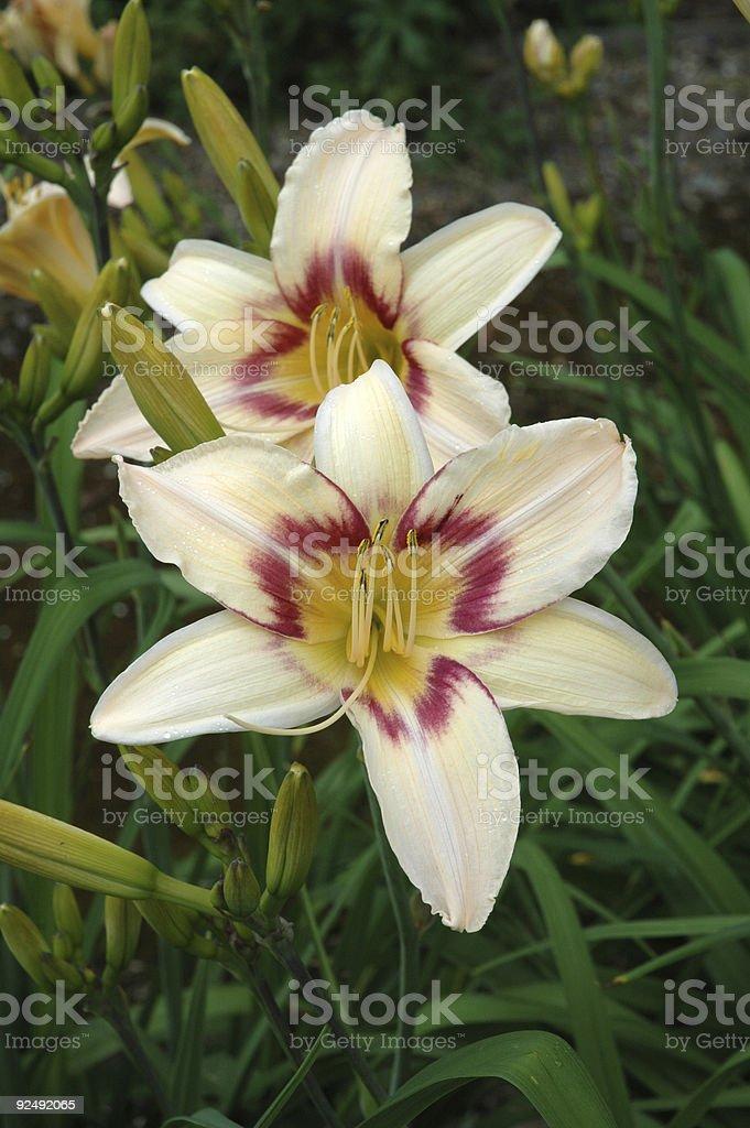 Hemerocallis Luxury Lace - Day Lily royalty-free stock photo