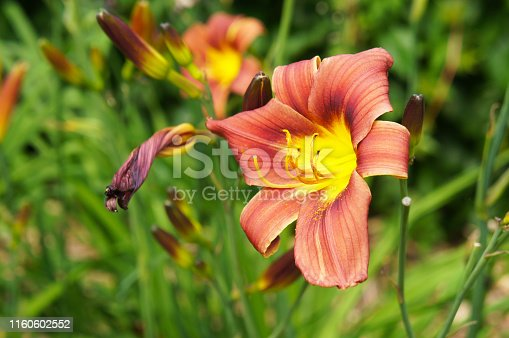 Hemerocallis rediculious daylilly orange red flowers with green