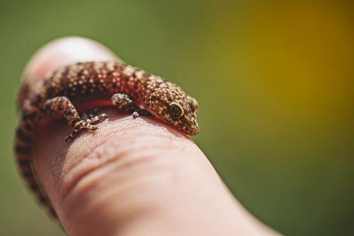 Hemidactylus Turcicus, Turkish house gecko, Mediterranean House Gecko