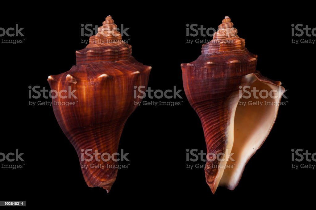 Hemifusus cochidium - Royalty-free Animal Shell Stock Photo