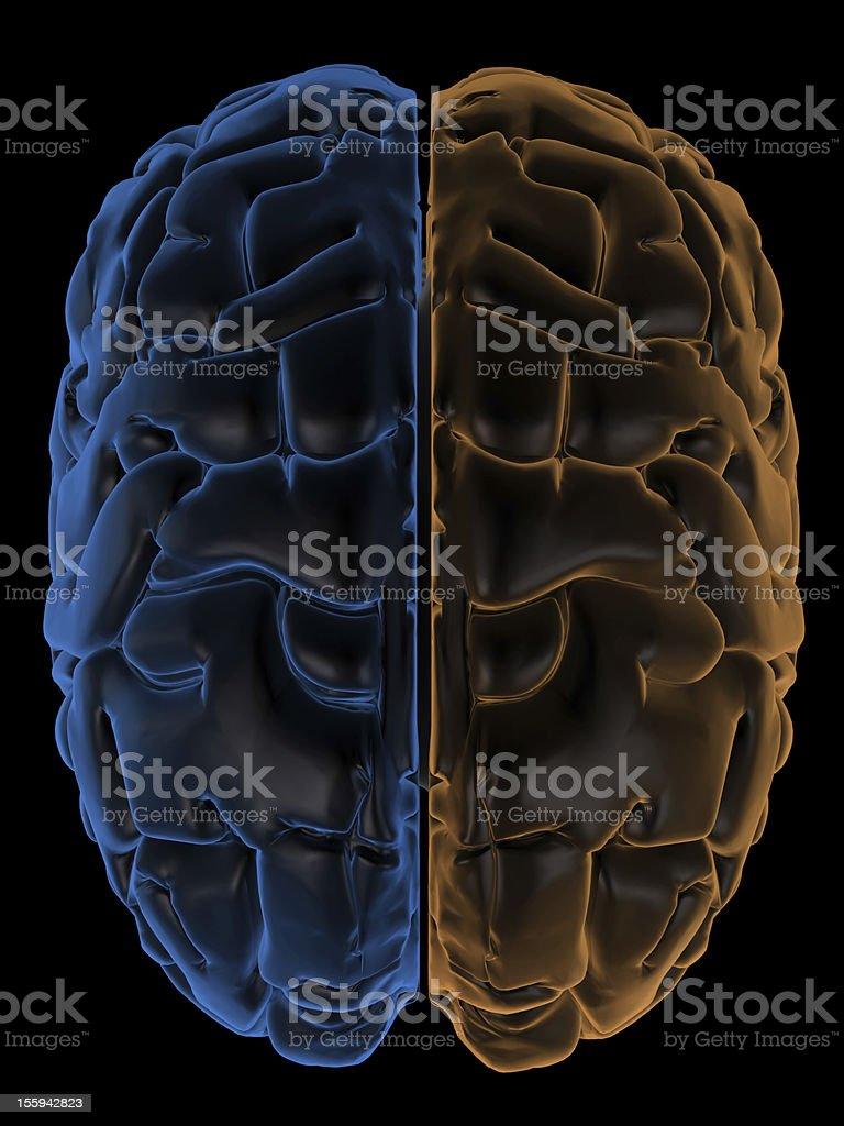 Hemispheres of the brain top view royalty-free stock photo