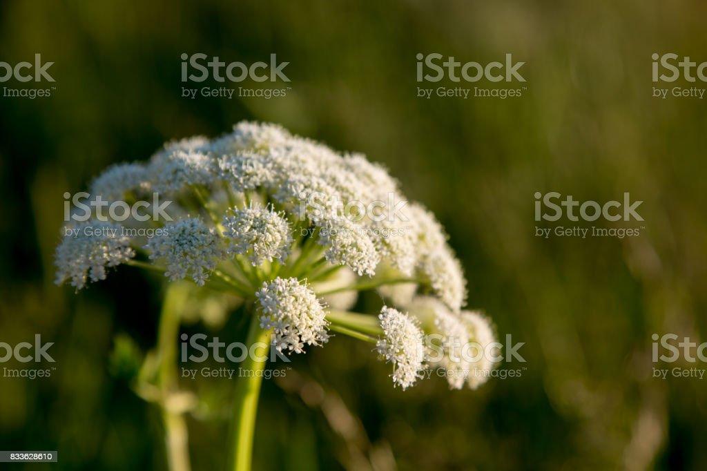 Hemlock Conium background green summer meadow closeup stock photo