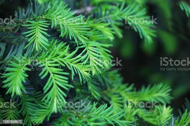 Photo of Hemlock Pine