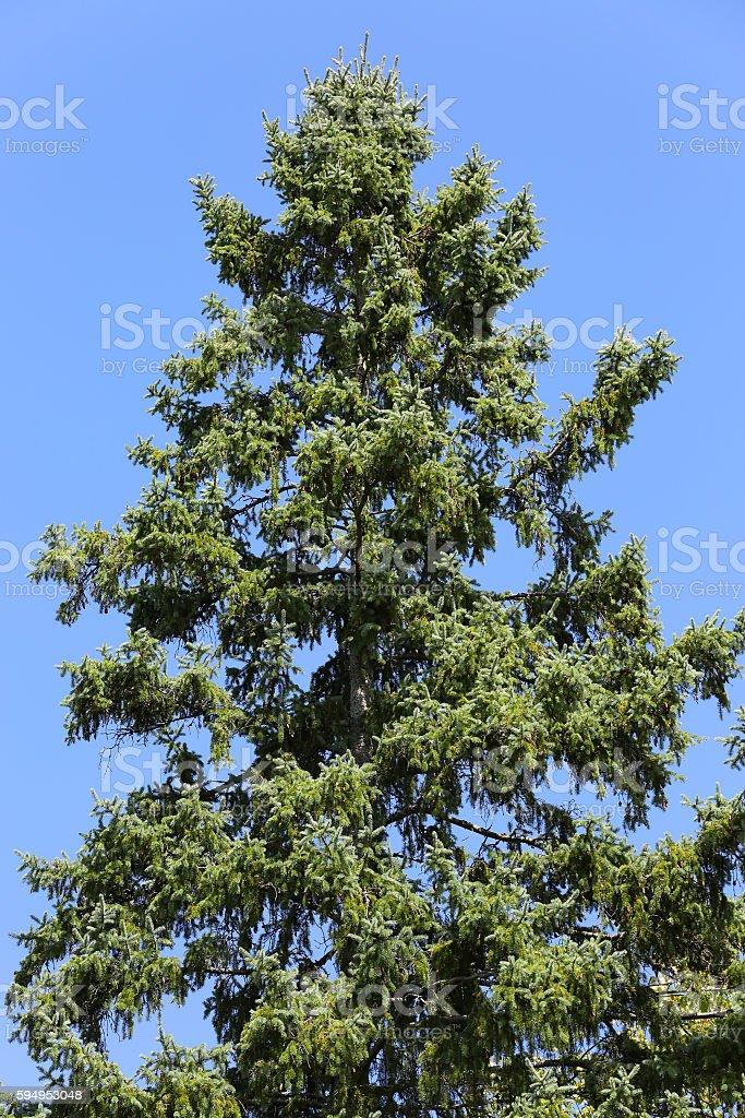 hemlock tree towering against blue sky stock photo