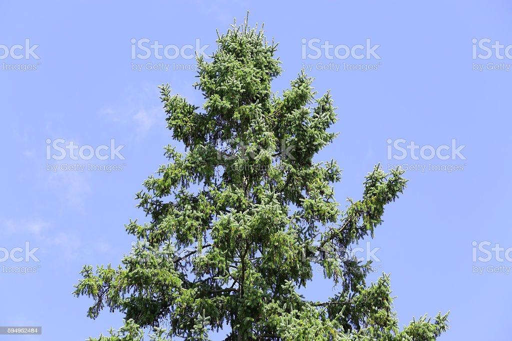 hemlock tree towering horizontal orientation stock photo