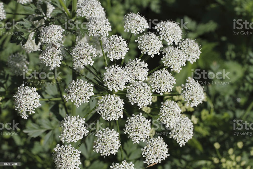 Flower of poisonous hemlock water dropwort Oenanthe crocata stock photo