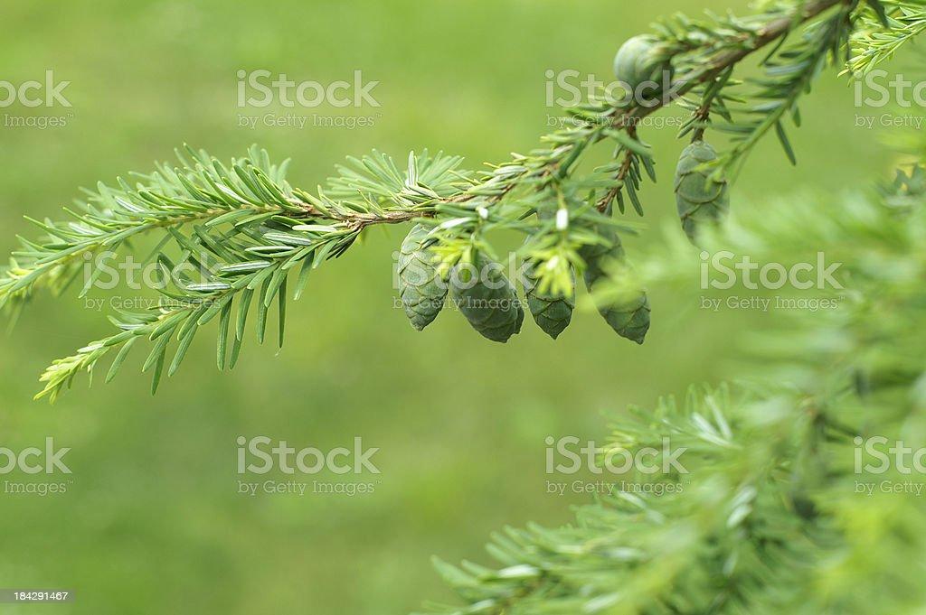 Hemlock with New Pine Cones stock photo