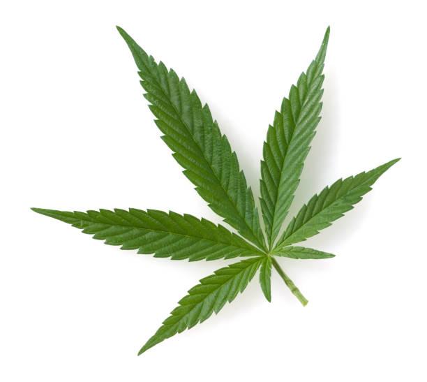 cáñamo; cannabis; indica; sativa - foto de stock