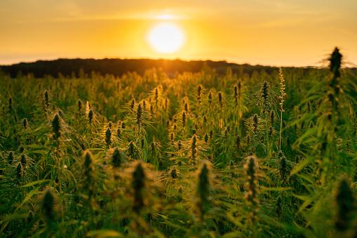 Industrial hemp or cannabis farm plantation in sunset