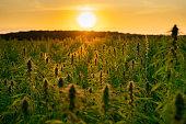 istock Hemp / Cannabis industrial plantation in sunset 1304242096