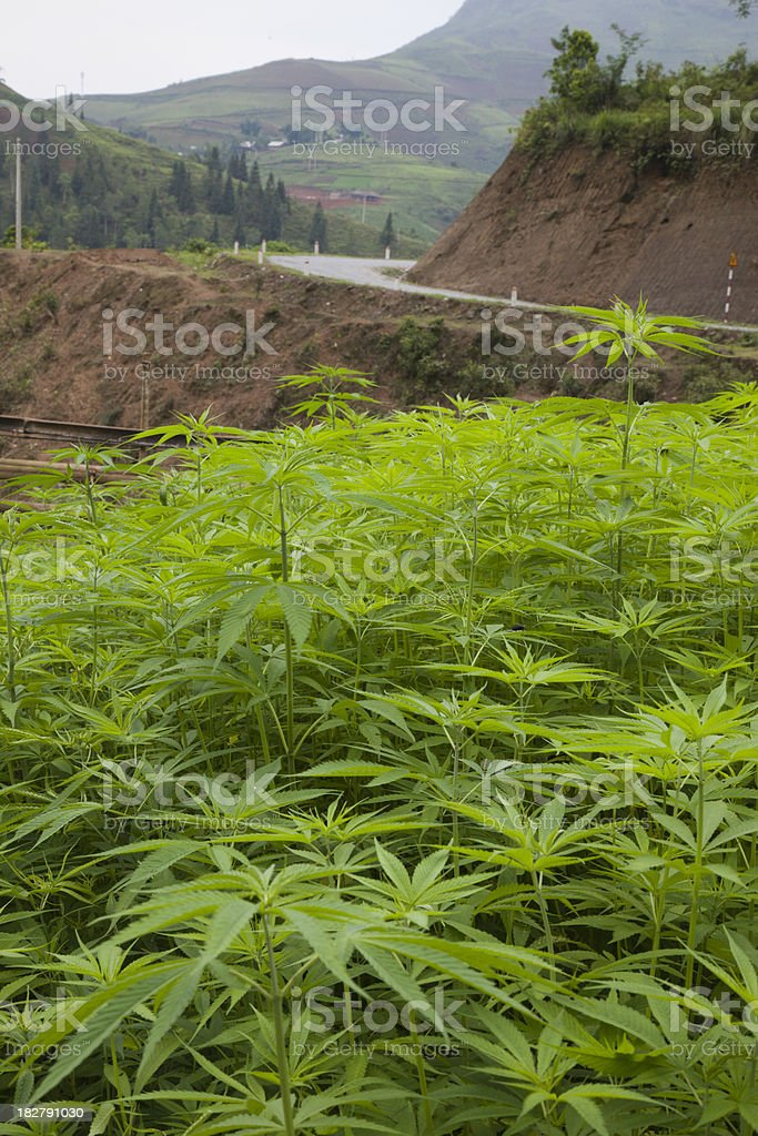 Hemp field and highway stock photo