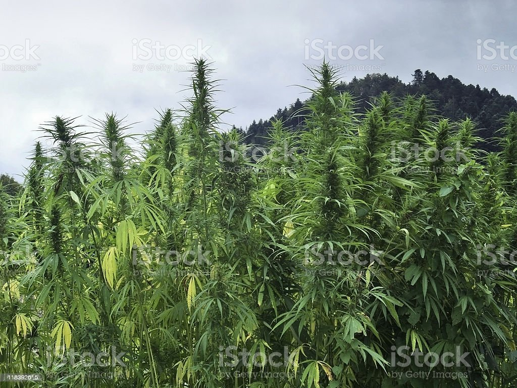 hemp field royalty-free stock photo