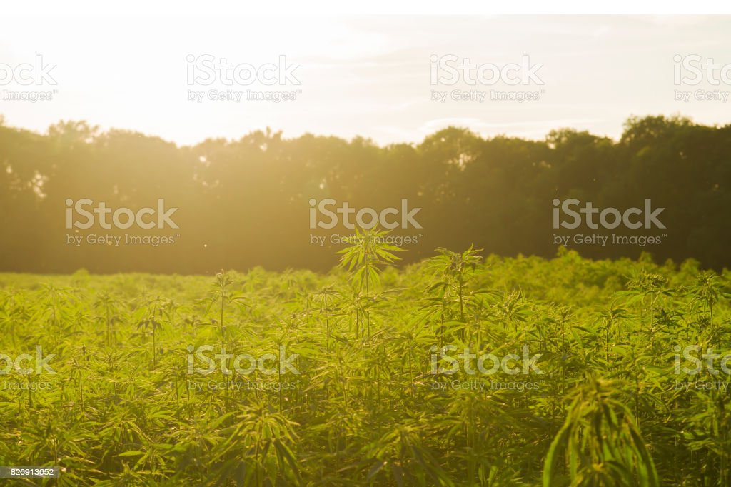 hemp industrail plantation stock photo