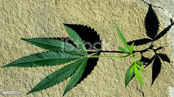 936410150istockphoto hemp leaves in hard shadows 935330770