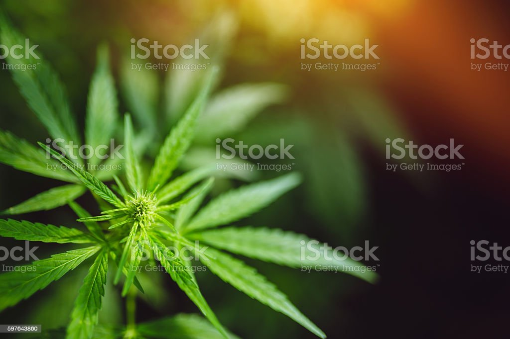 Hemp leaves stock photo