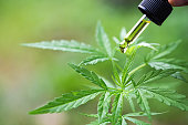 Hemp oil cbd, Cannabis herb and leaves for treatment, Extract from hemp oil.