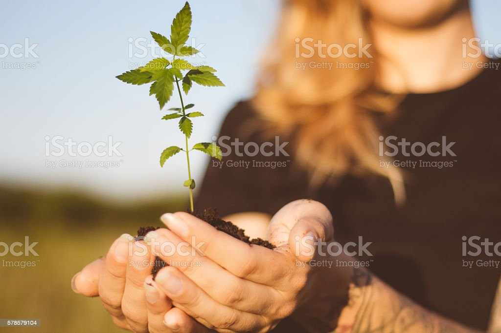 Hemp plant in girl's hands stock photo