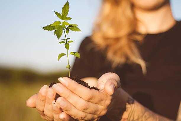 Hemp plant in girl's hands stock photo