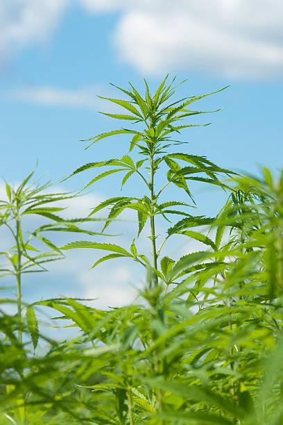 Hanf Pflanze mit blauem Himmel – Foto