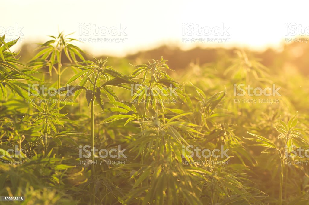 hemp plantation stock photo