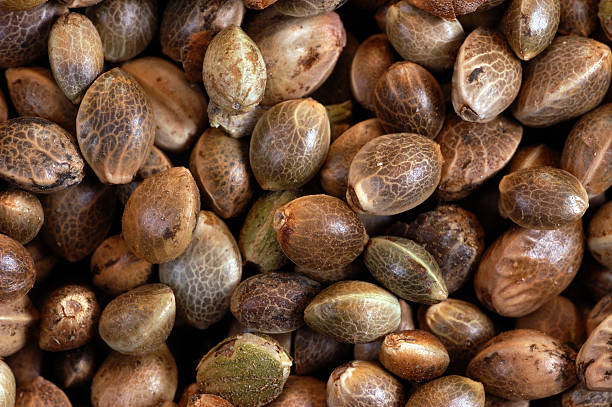 Hemp seed close-up (cannabis) stock photo