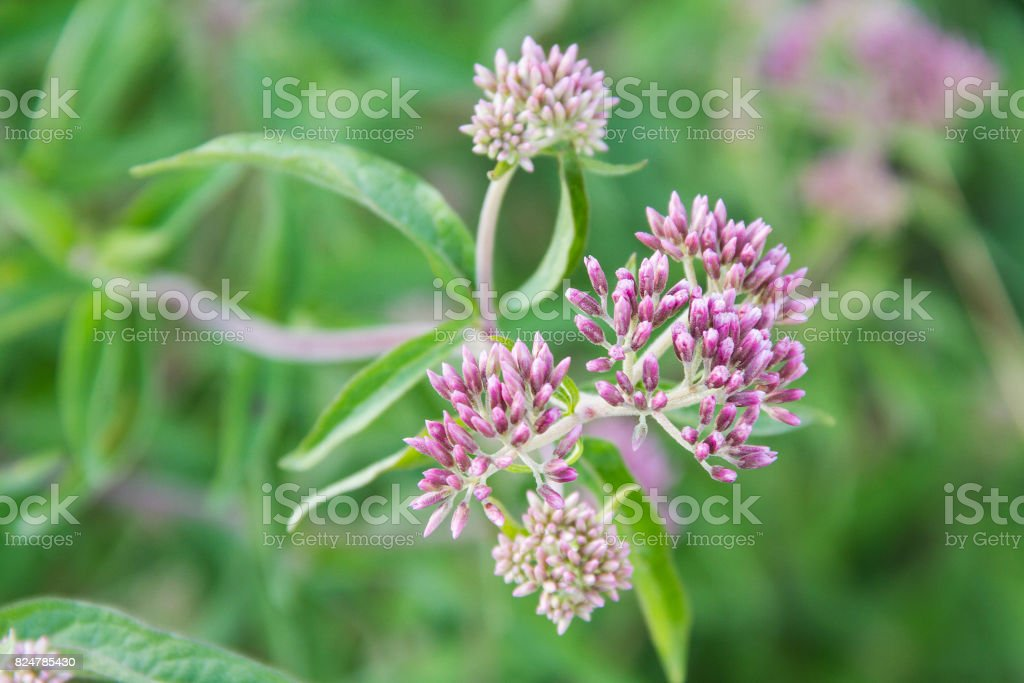 Hemp-agrimony, holy rope or cannabina royalty-free stock photo