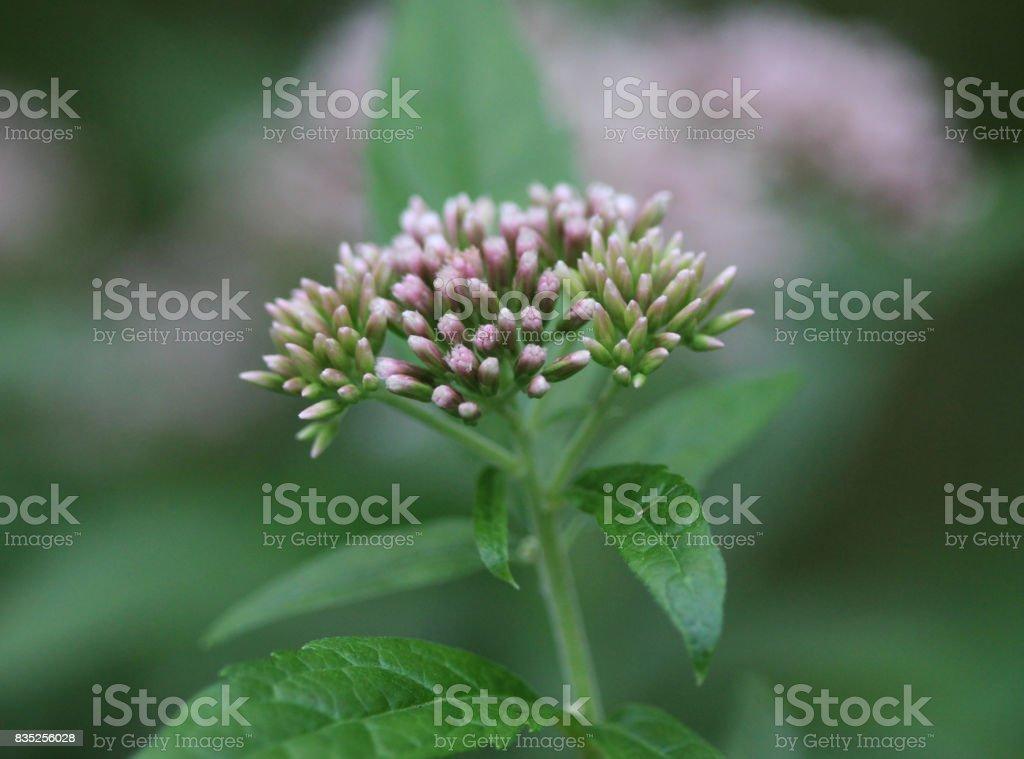 hemp-agrimony (Eupatorium cannabinum) stock photo
