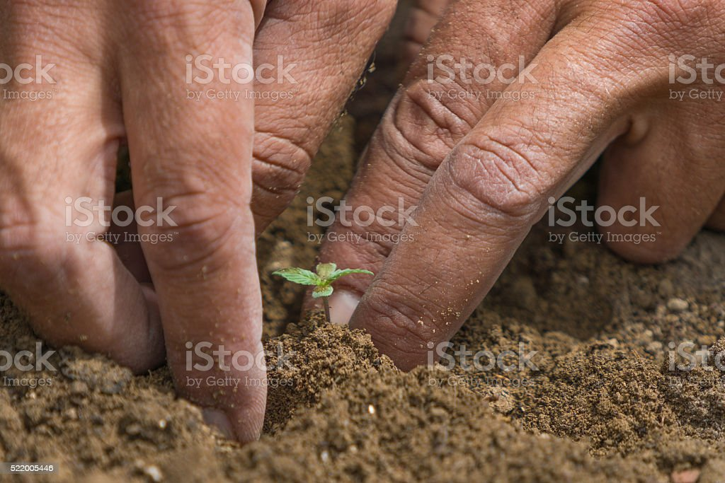 hemp,cannabis soil and fertilizer stock photo