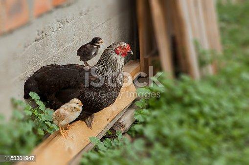 Hen alert over the chicken herd. Authentic farm series.
