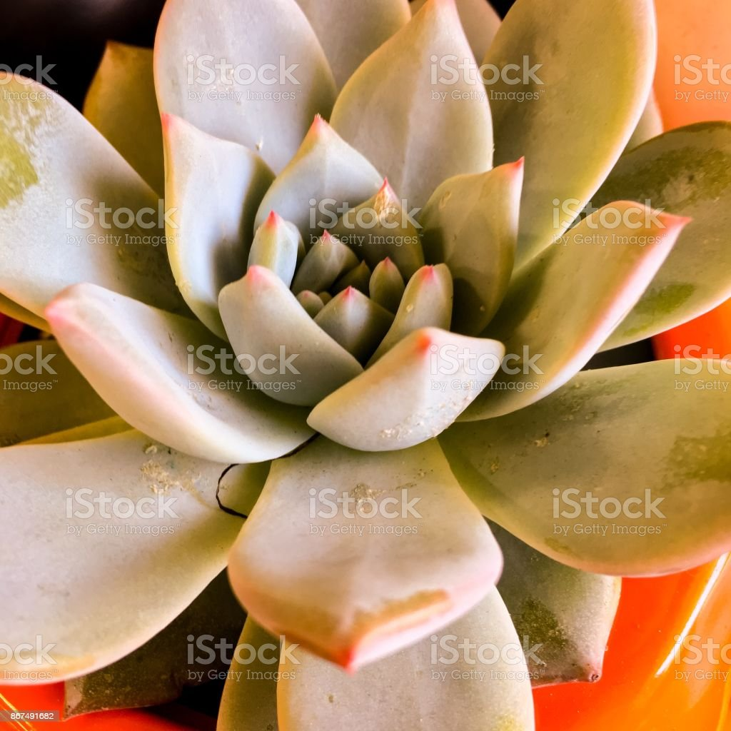 Hen and chick succulent stock photo