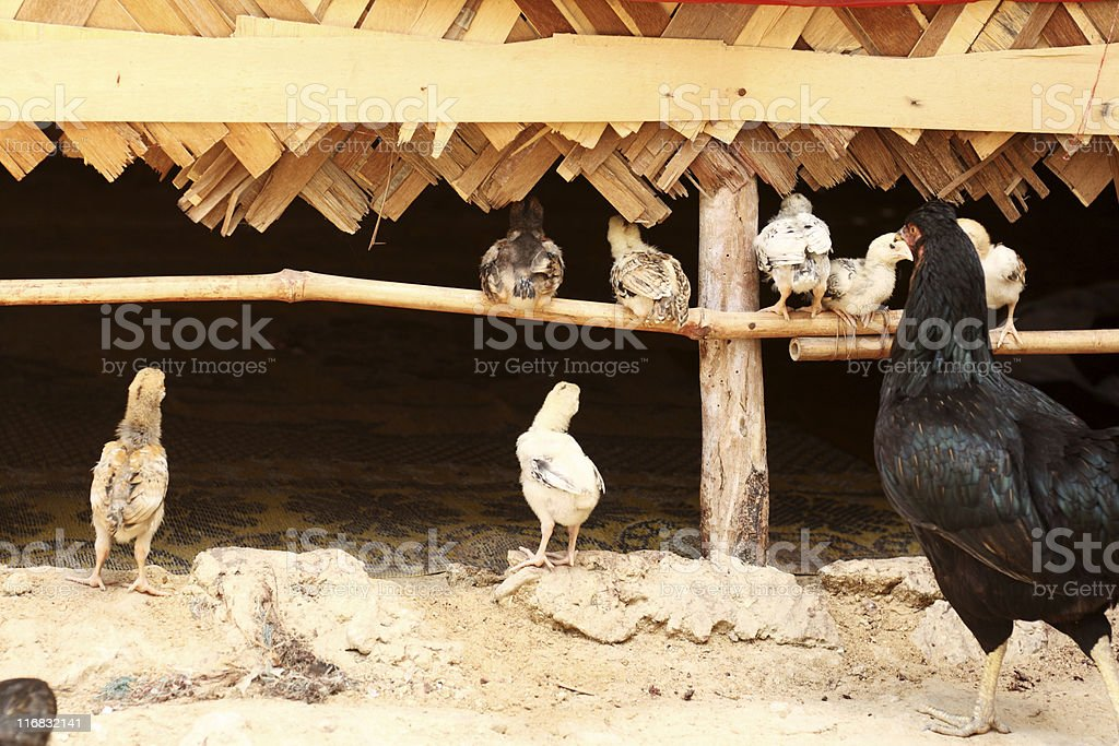 Hen and chicks royalty-free stock photo