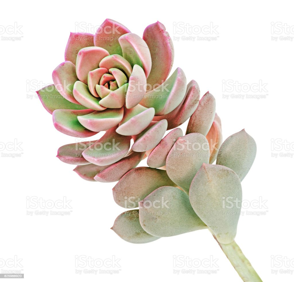 Hen and Chicks plant isolated on white background stock photo