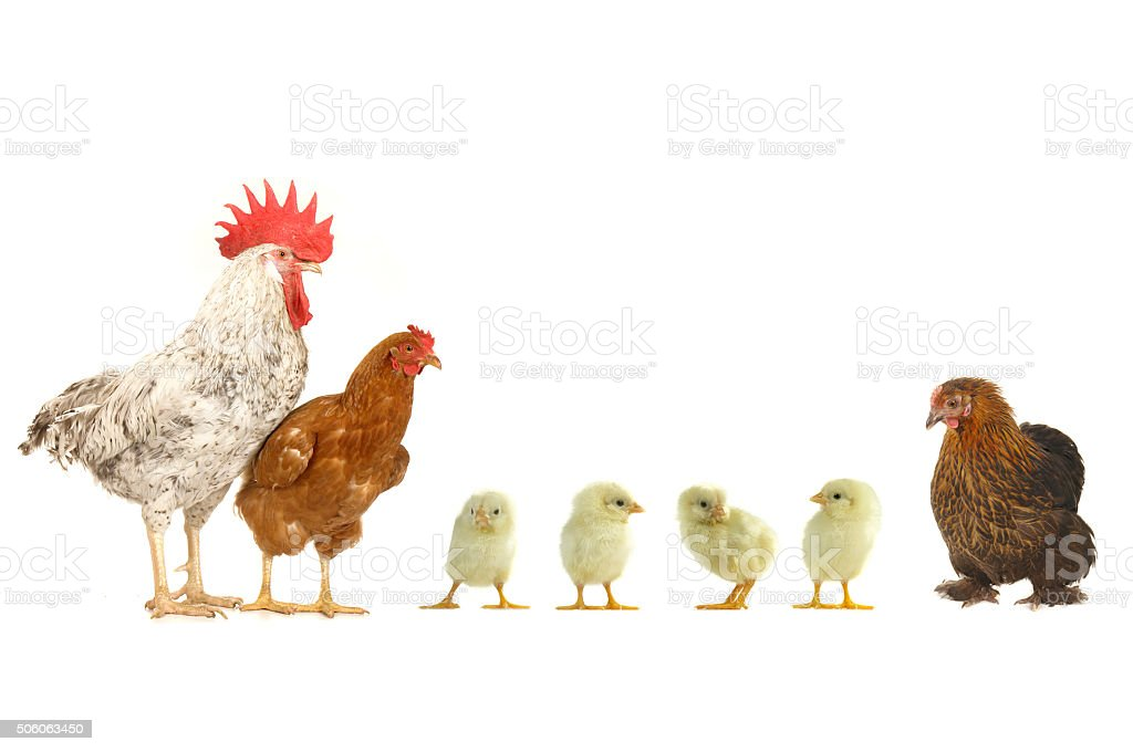 hen and cock stock photo