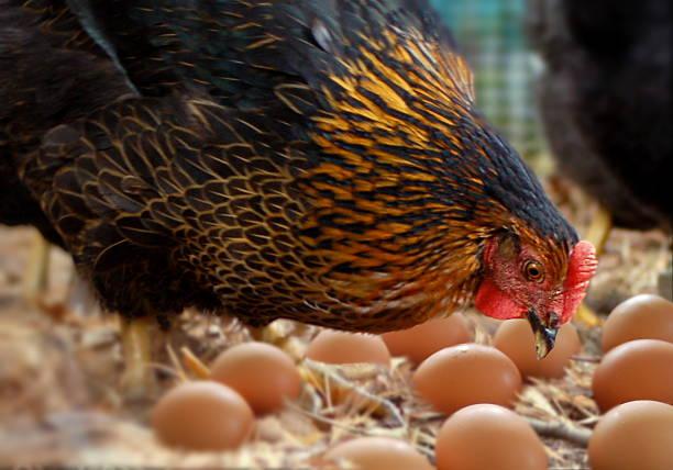 hen and eggs - frigående bildbanksfoton och bilder