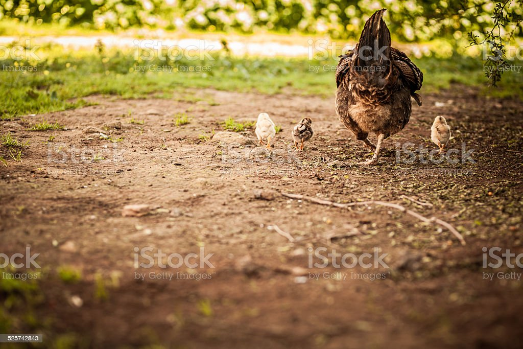 Hen and her chicks stock photo