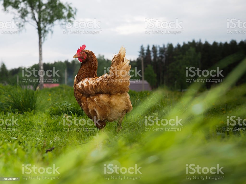 Hen beautiful, mottled in the high green grass stock photo