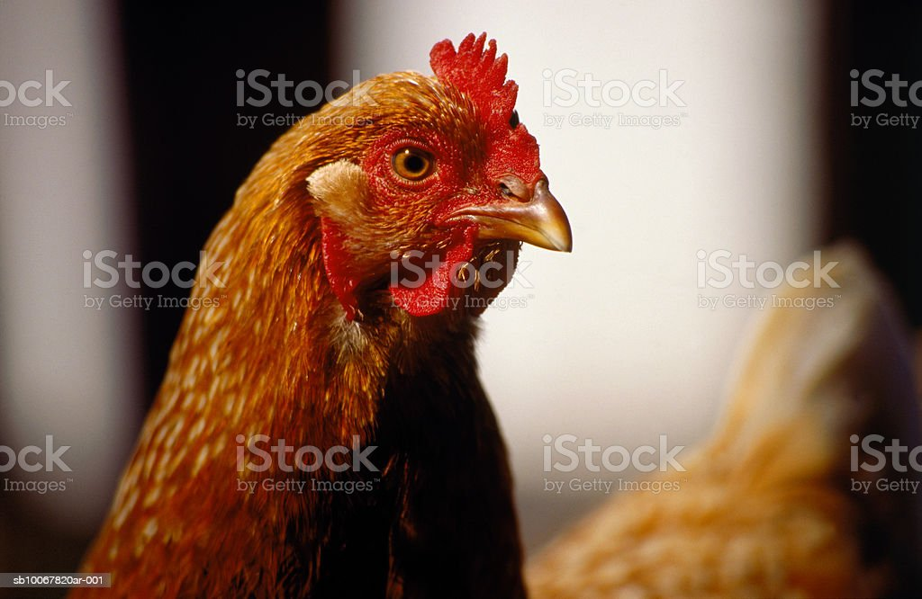 Hen, close-up royalty free stockfoto