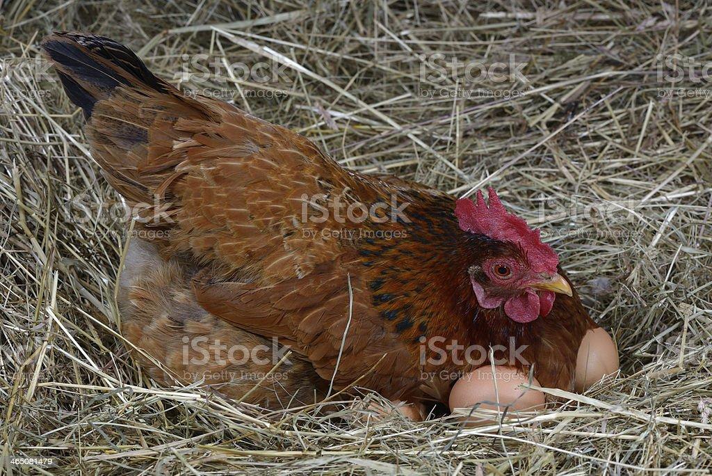 hen eggs stock photo