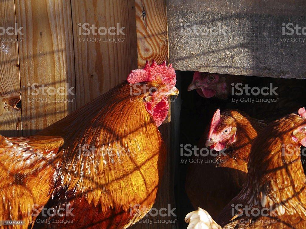 hen farm free range royalty-free stock photo