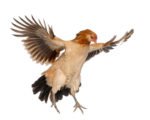 Hen flying against white background stock photo