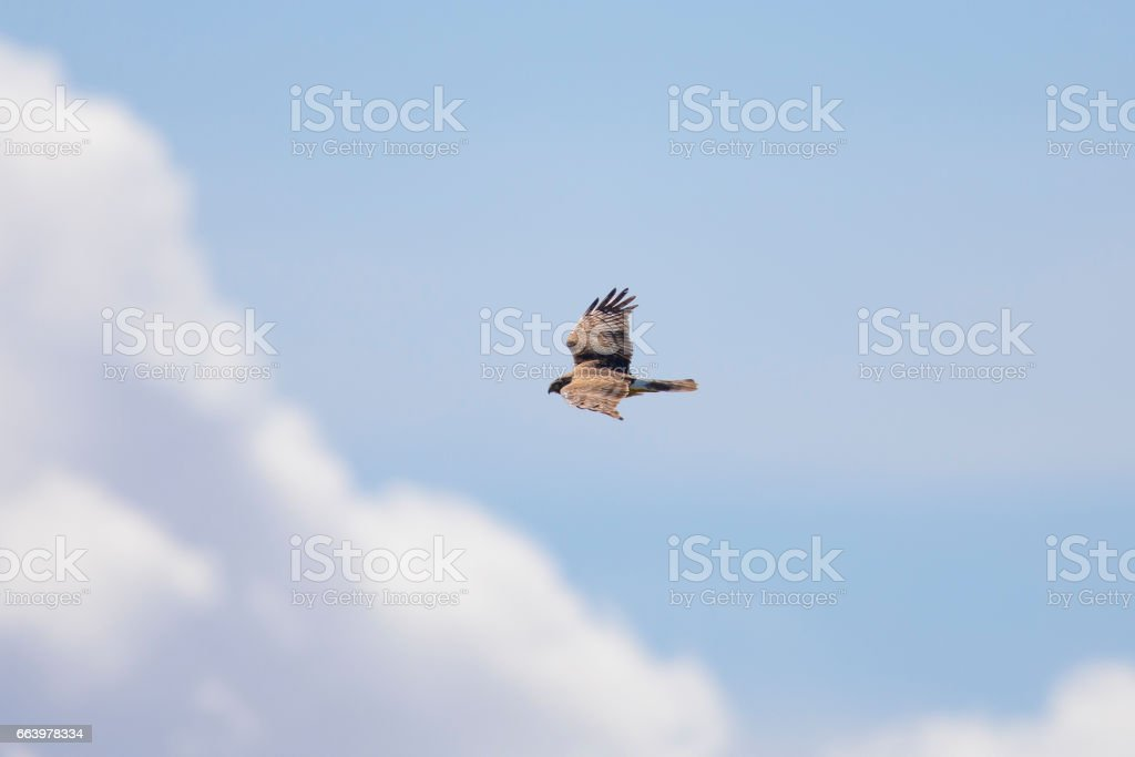 Hen harrier in the cloudy sky, seen in the wild near the San Francisco Bay stock photo