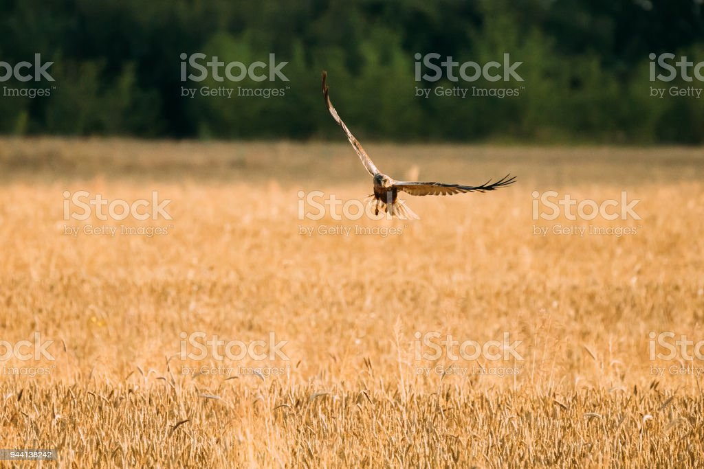 Hen Harrier Or Circus Cyaneus Wild Bird Flies Over Wheat Field In Belarus. In Eurasia, Adult Male Is Sometimes Nicknamed The Grey Ghost stock photo