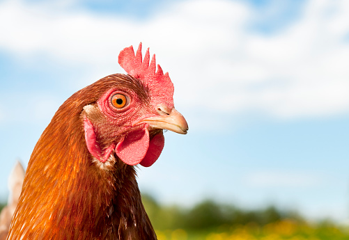 Close-up on a female chicken in profile, with the tail out of focus to the left.  Composed to allow for ample copy space if needed.