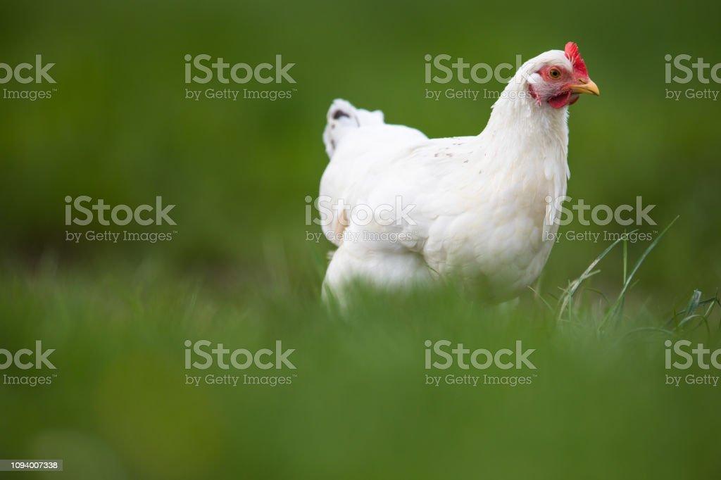 Hen in a farmyard (Gallus gallus domesticus) stock photo