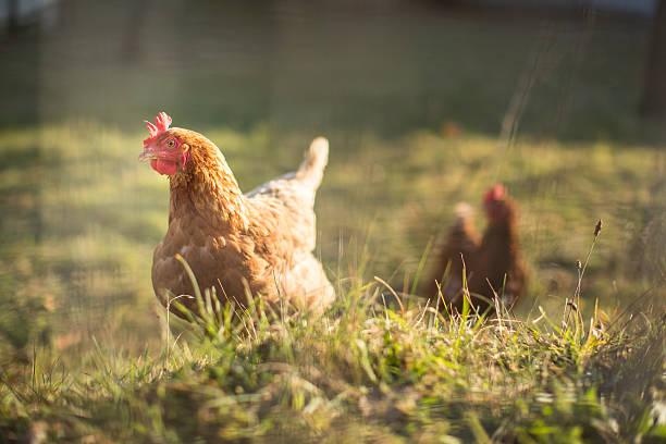 hen in a farmyard - frigående bildbanksfoton och bilder