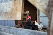 Photograph of a domestic hen and rooster digging in the dirt on a farm