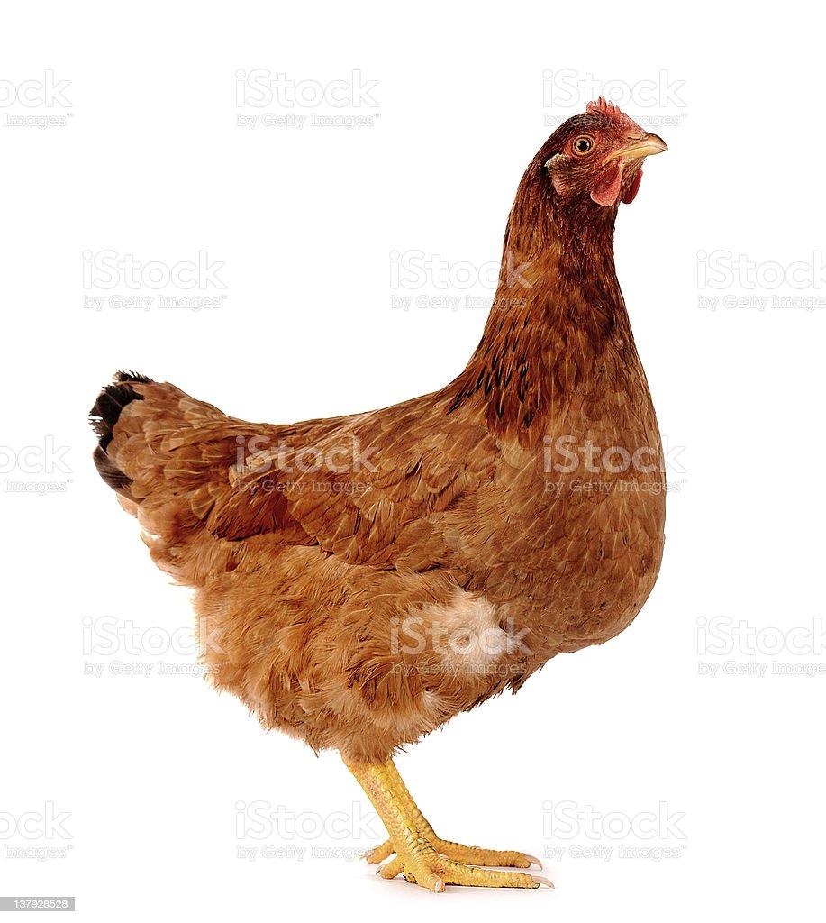 Hen isolated on white. stock photo