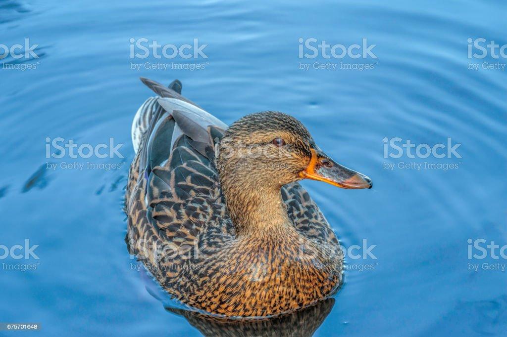 Hen Mallard Duck royalty-free stock photo