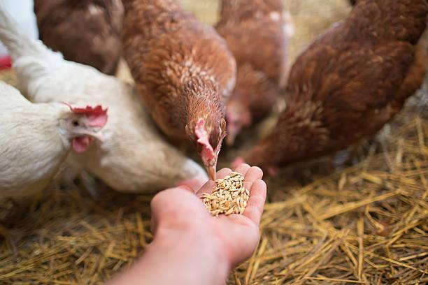 hen pecks - füttern stock-fotos und bilder
