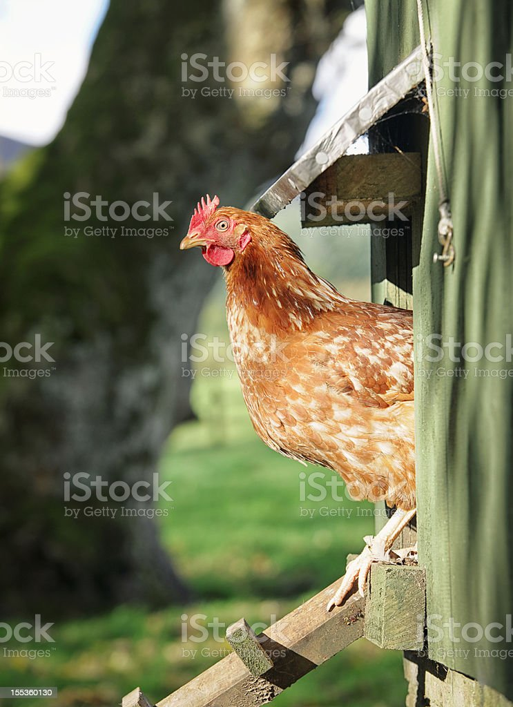 Hen Peering Out of the Henhouse stock photo